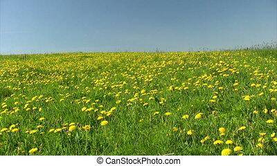 Field of dandelions - Summer field of dandelions on blue sky...