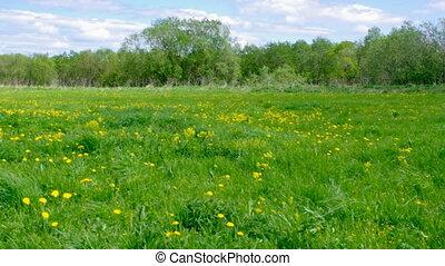 Field of dandelions,blue sky