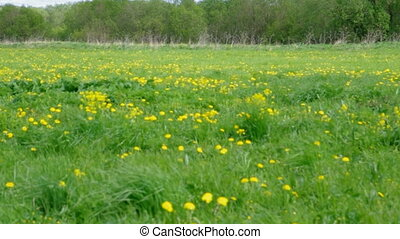 Field of dandelions,blue sky