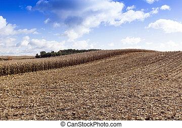 Field of dried corn
