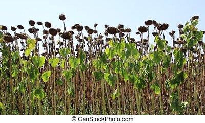 field of dried sunflowers
