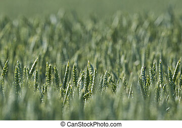 field of ears of green wheat in sunlight