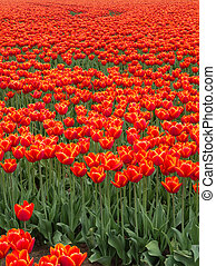 Field of fiery red and orange colored tulips