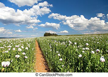 field of flowering opium poppy and pathway - field of...