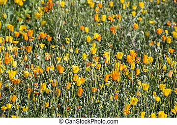 Field of Flowering Orange and Yellow Daisey Plants - Close...