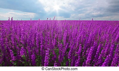 field of flowering spikes and cloudy sky