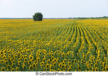 Field of flowering sunflowers and a lone tree