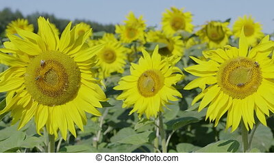 Field of flowering sunflowers with bees collecting honey.