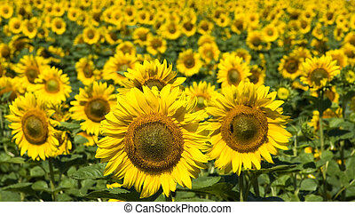 sunflowers - Field of flowers of sunflowers