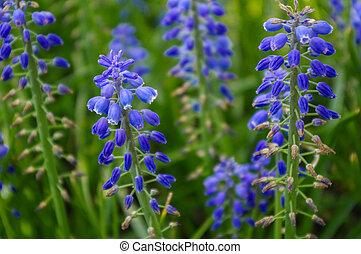 Field of fresh lupin wild flowers, closeup