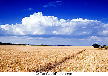 Field of gold and blue sky