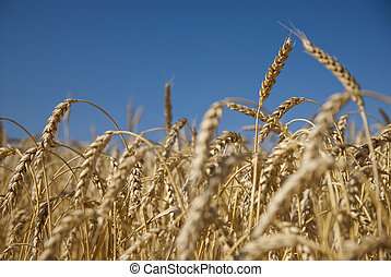 Field of gold wheat and blue sky