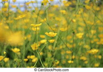 Field of Golden Buttercups, England