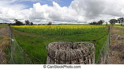 Field of Golden Canola