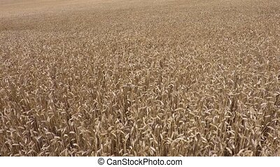 Field of golden cereals