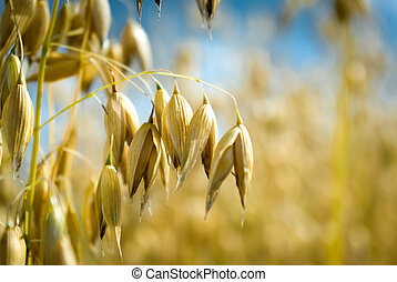 oats - field of golden oats and blue sky, agricultural field...