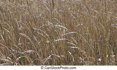 Field of golden ripe wheat ready to be harvested in summer...