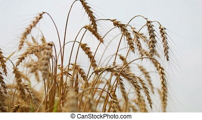 Field of golden rye close up - Close up view of golden rye...