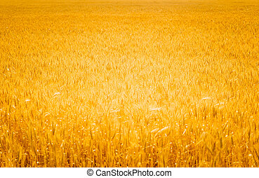 Field of Golden wheat