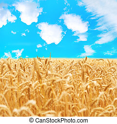 Field of golden wheat with blue sky