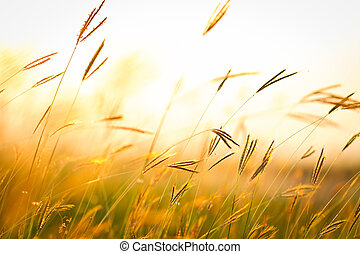 Field of grass during sunset