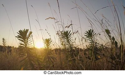 field of grass. Sunset behind the silhouette of grass -...