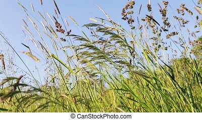 field of grass with blowing wind