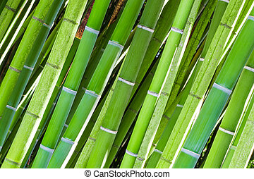Field of green bamboo canes