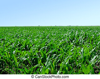 Field of green corn - Large field of green corn