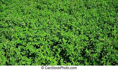 Field of green flowering clover - A field of a green...