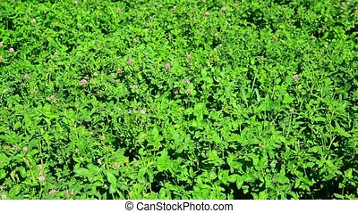Field of green flowering clover - A field of a green...