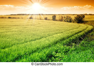 Field of green fresh grain and sunny sky