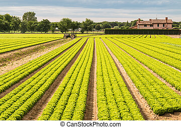Field of green lettuce