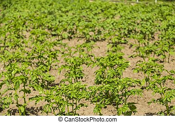 Field of green potato bushes.