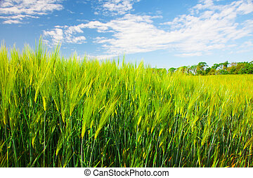 field of green rye and blue cloudy sky