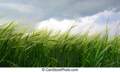 Field of green rye before thunderstorm. Russia - Field of...