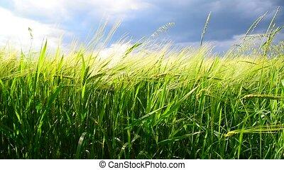 Field of green rye before thunderstorm. Russia - Field of...