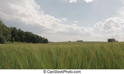 Field of Green Wheat camera movement - Field of green wheat...