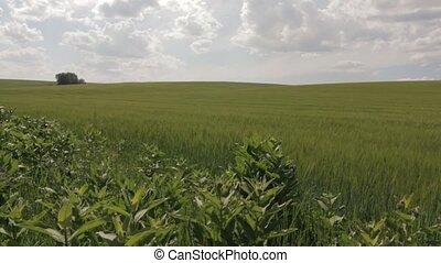 Field of Green Wheat - Field of green wheat and the sky with...