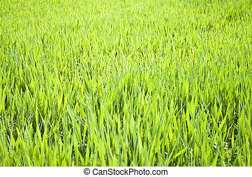 Field of green wheat grass close-up