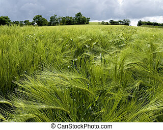 Field of green wheat in spring