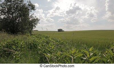 Field of Green Wheat pan dolly shot - Field of green wheat...