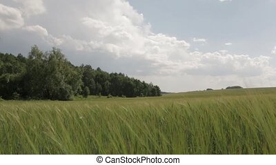 Field of Green Wheat push in - Field of green wheat and the...
