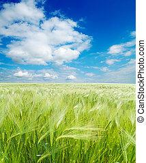 field of green wheat under cloudy sky