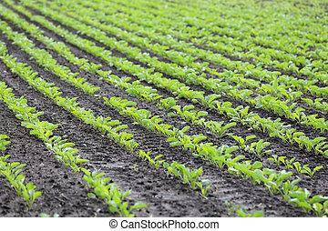 Field of Growing Sugar Beet