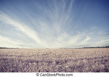 Field of harvest wheat