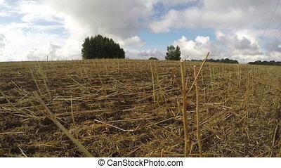 Field of harvested rapeseed stalks