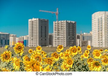 Field of large sunflowers near the new buildings on blue sky background