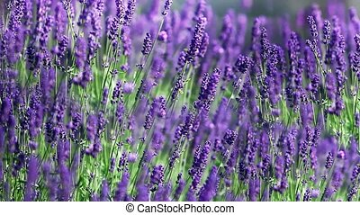 field of lavender - A close up of lavender plants swaying in...