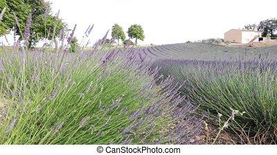 Field of lavender in France, Lavender stalks in the foreground, Valensole, Cote Dazur-Alps-Provence, a lot of flowers, rows of flowers, perspective, trees and shed on background, sunny